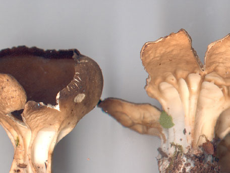 Pokalmurkla – Helvella acetabulum
