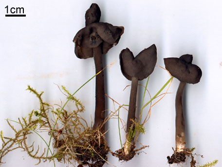 Sotmurkla – Helvella nigricans