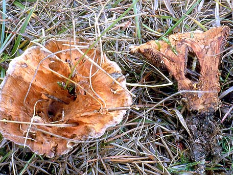 Brandtaggsvamp – Hydnellum auratile