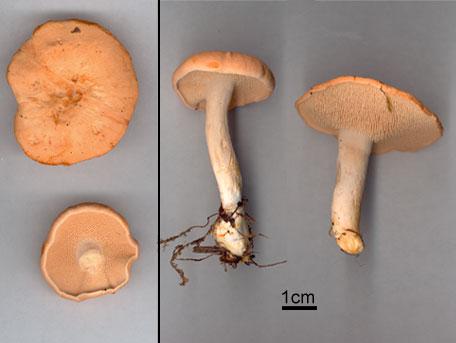 Rödgul taggsvamp – Hydnum rufescens s. lat.