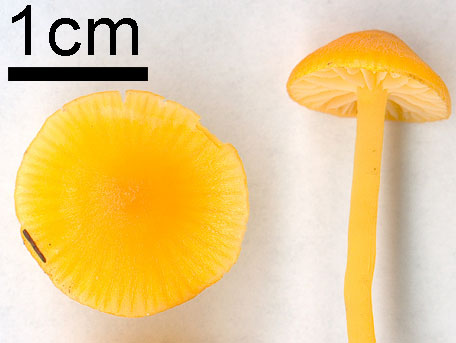 Spröd vaxskivling – Hygrocybe ceracea