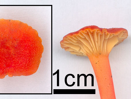 Kantarellvaxskivling – Hygrocybe cantharellus
