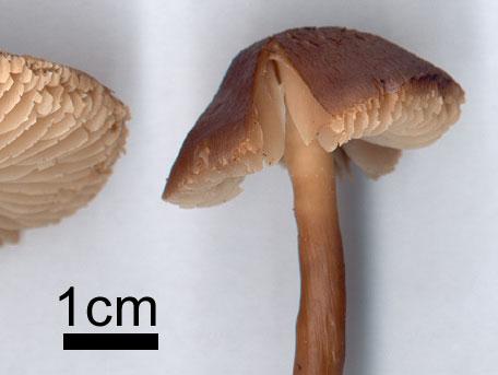 Lutvaxskivling – Neohygrocybe nitrata