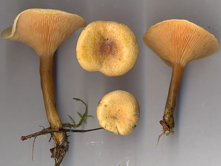 Narrkantarell – Hygrophoropsis aurantiaca