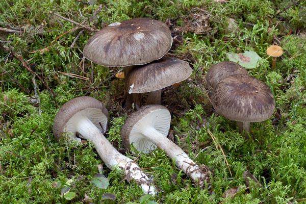 Sotvaxskivling – Hygrophorus camarophyllus