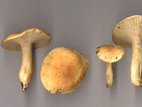 Lundvaxskivling – Hygrophorus nemoreus