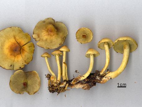 Svavelgul slöjskivling – Hypholoma fasciculare