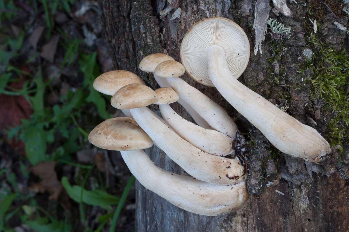 Almskivling – Hypsizygus ulmarius