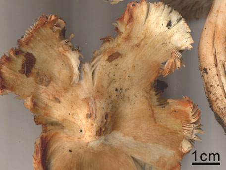 Gifttråding – Inocybe erubescens