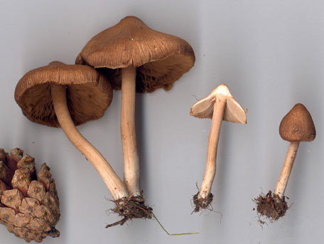 Mosstråding – Inocybe nitidiuscula