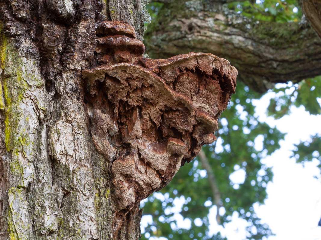 Kärnticka – Inonotus dryophilus