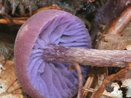 Ametistskivling – Laccaria amethystina