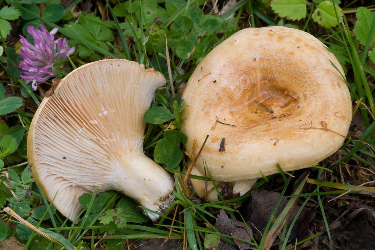 Gaffelriska – Lactarius acerrimus