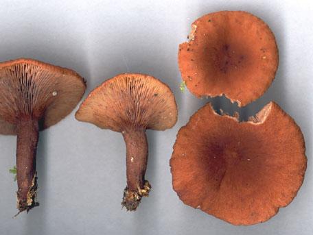 Kamferriska – Lactarius camphoratus