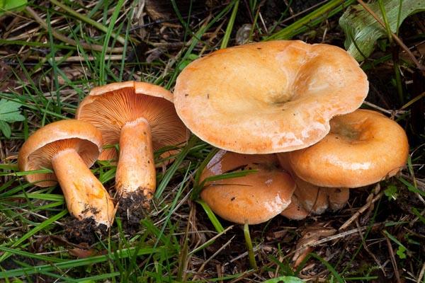Blodriska – Lactarius deterrimus