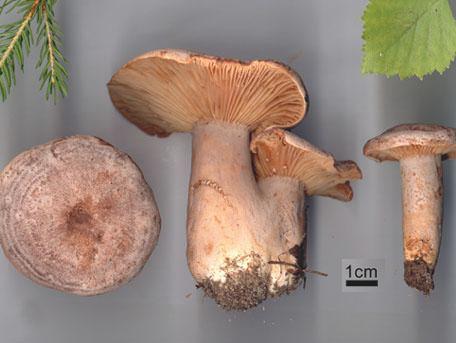 Buktriska – Lactarius flexuosus