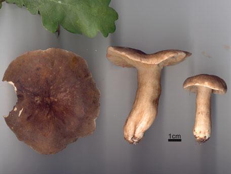 Rökriska – Lactarius fuliginosus