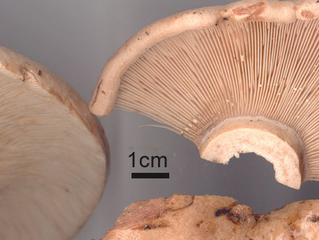 Blekriska – Lactarius pallidus