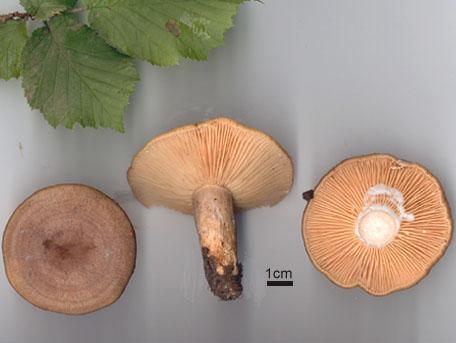 Hasselriska – Lactarius pyrogalus