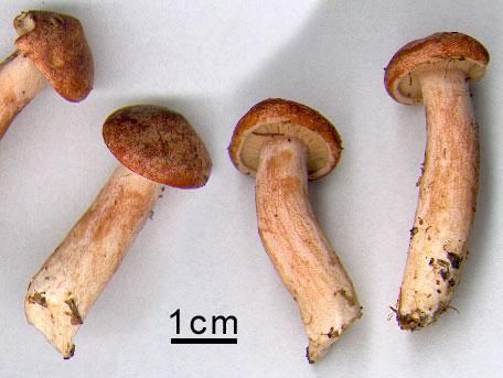 Pepparriska – Lactarius rufus