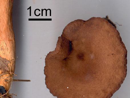 Stinkriska – Lactarius serifluus
