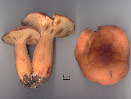 Mandelriska – Lactarius volemus