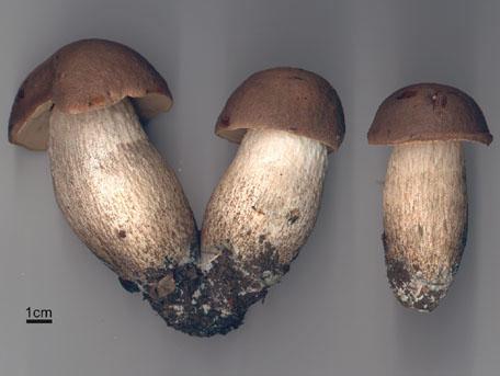 Brun aspsopp – Leccinum duriusculum