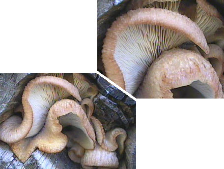 Rynkmussling – Lentinellus vulpinus