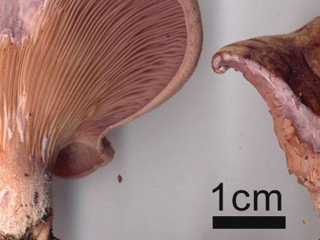 Broskmussling – Panus conchatus