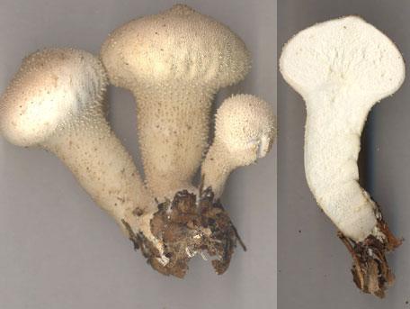 Vårtig röksvamp – Lycoperdon perlatum
