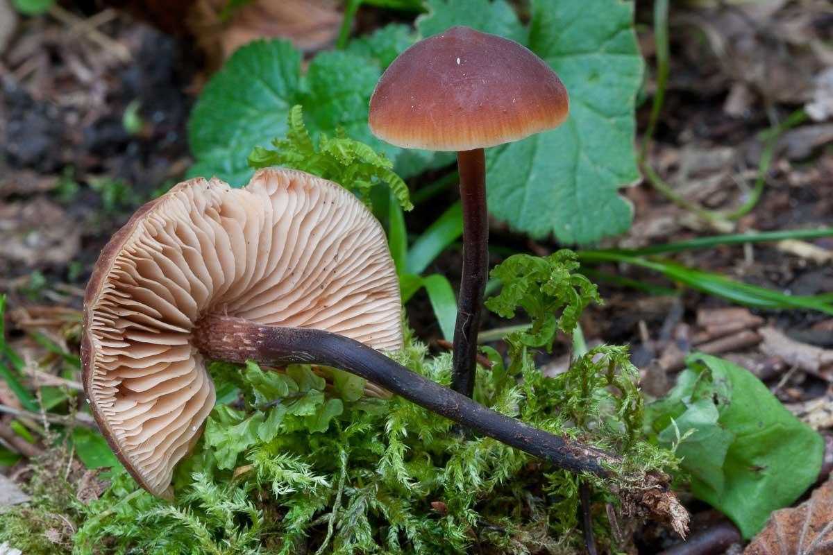 Transkräling – Macrocystidia cucumis