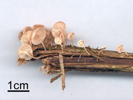 Grenbrosking – Marasmiellus ramealis