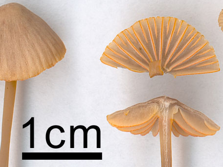Guldeggad hätta – Mycena aurantiomarginata
