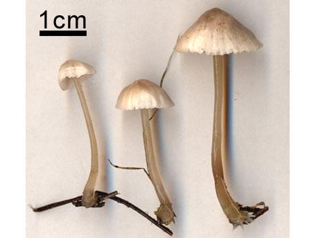 Rödeggad klorhätta – Mycena capillaripes