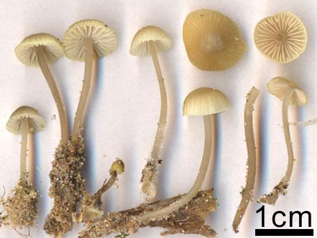 Dynhätta – Mycena chlorantha