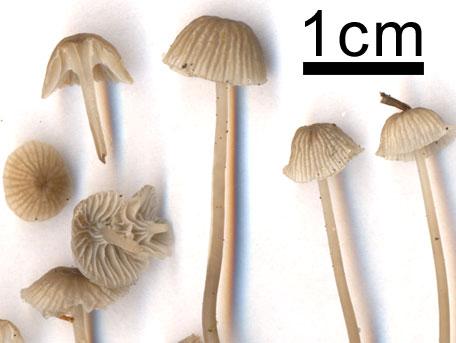 Mjölhätta – Mycena cinerella