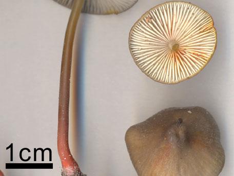 Saffranshätta – Mycena crocata