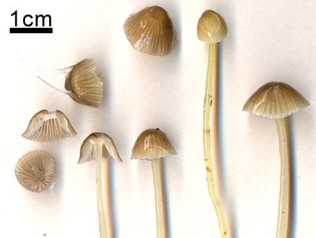 Flåhätta – Mycena epipterygia