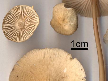 Rynkhätta – Mycena galericulata