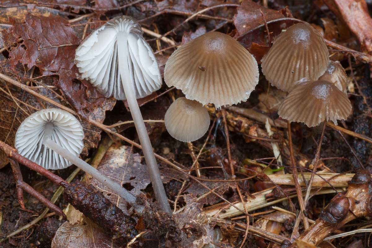 Klorhätta – Mycena leptocephala