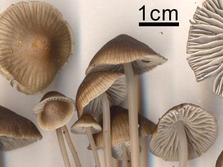 – Mycena maculata