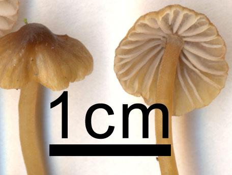 Bruneggad hätta – Mycena olivaceomarginata
