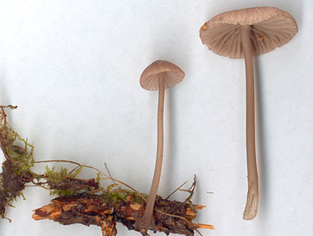 Purpurhätta – Mycena purpureofusca