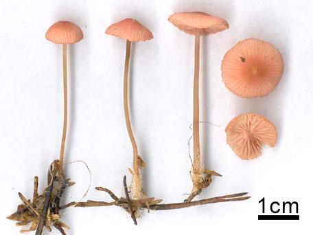 Rosenhätta – Mycena rosella