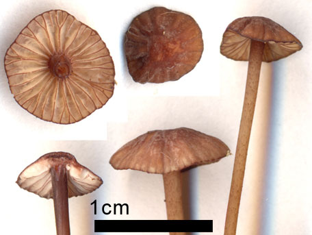 Mörkeggad blodhätta – Mycena sanguinolenta