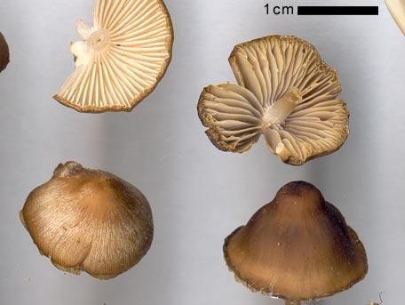 Kottehätta – Mycena plumipes