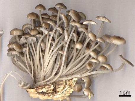 Vinterhätta – Mycena tintinabulum