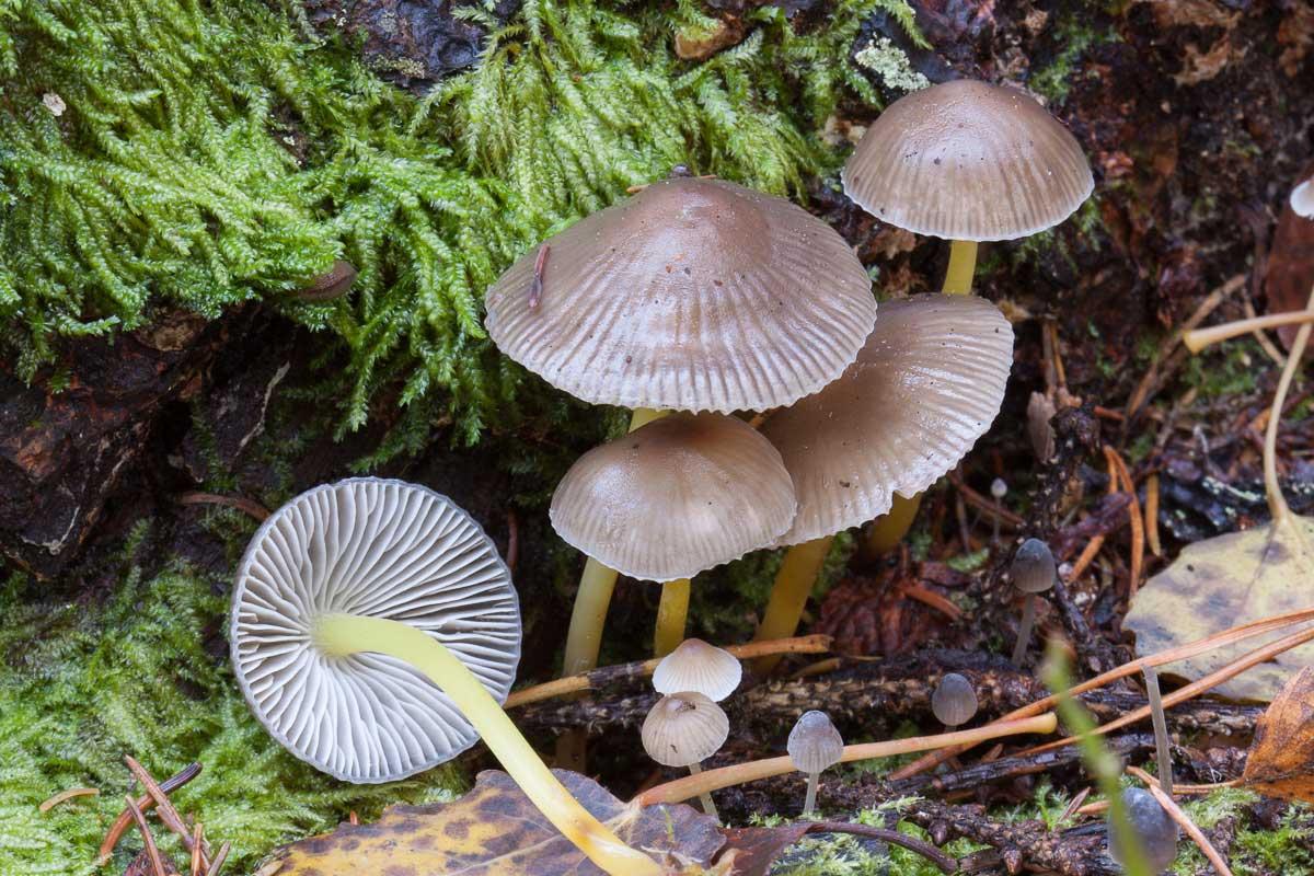 Stor flåhätta – Mycena viscosa