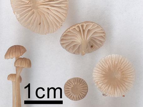 Klibbhätta – Mycena vulgaris
