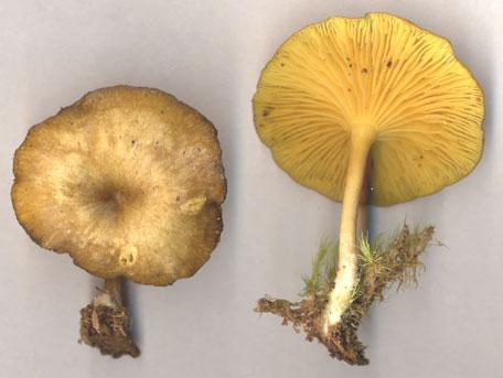 Gullnavling – Chrysomphalina chrysophylla